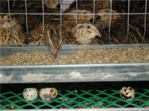 Яйцесборка- важная деталь клетки