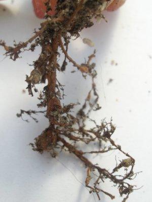 Корневые нематоды