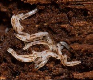 Личинка грибного комарика