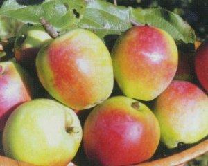 Плоды данного сорта очень сочные