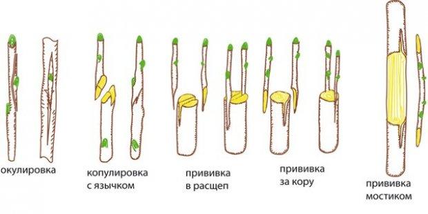 Как правильно сделать прививку яблони