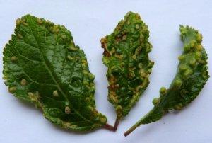 Войлочная вишня основные вредители и болезни