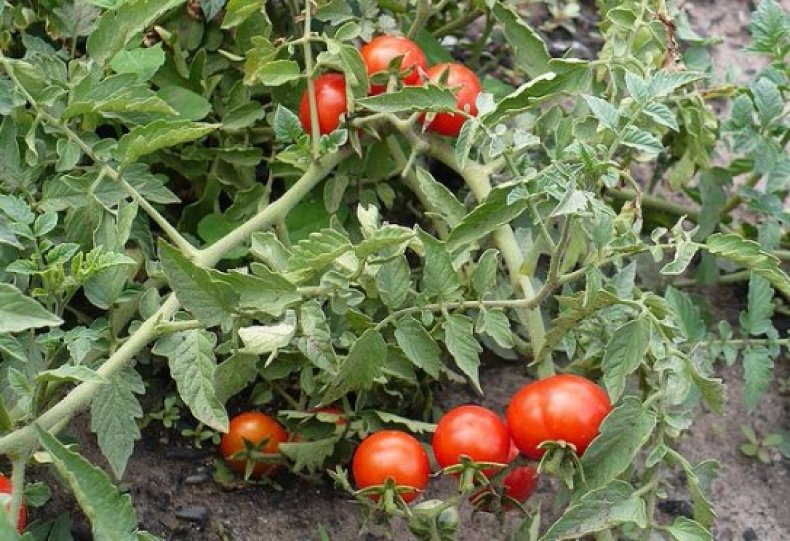 фитофтора, помидор, бороться, грибковый
