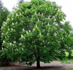 Дерево каштан