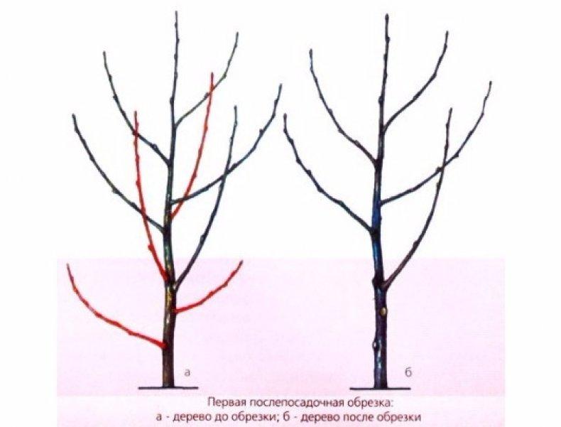 Обрезка войлочной вишни