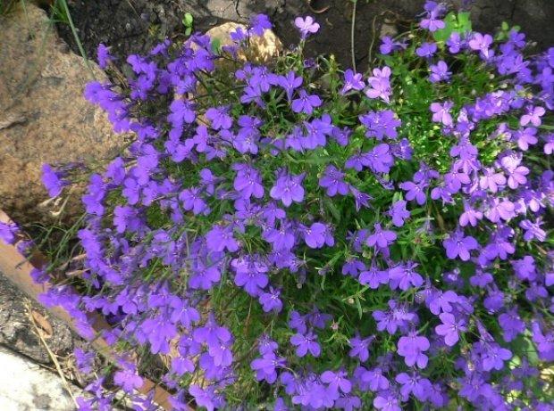 Цветы для сада медоносы
