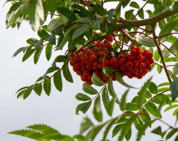 Выращивание рябины из семян в домашних условиях. Размножение рябины, выращивание и уход Как посадить рябину из семян