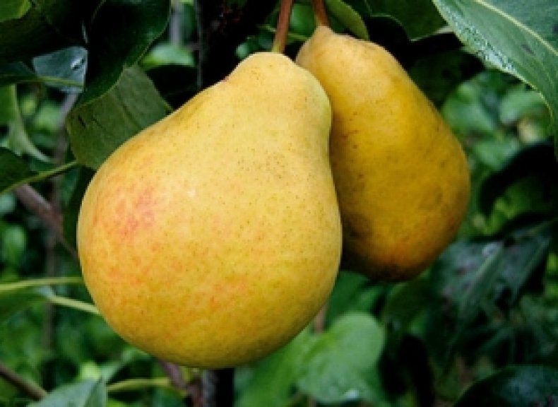 «Лимонка» получила свое название благодаря цвету кожицы