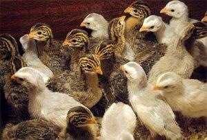 Рацион птиц обязательно должен содержать витамины