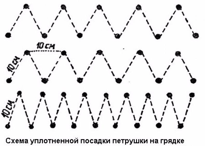 Схема посадки петрушки