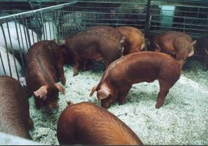 Свиньи абсолютно не агрессивны