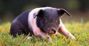 Свиноматки хорошо заботятся о поросятах