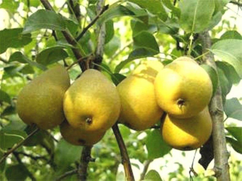 Дерево сорта «Белолистка» устойчиво к низким температурам