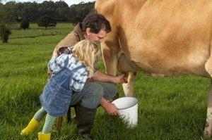 Корову нужно доить аккуратно, чтобы не причинять дискомфорта животному