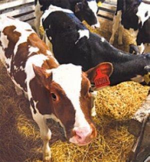 Рацион коровы должен содержать много полезных элементов