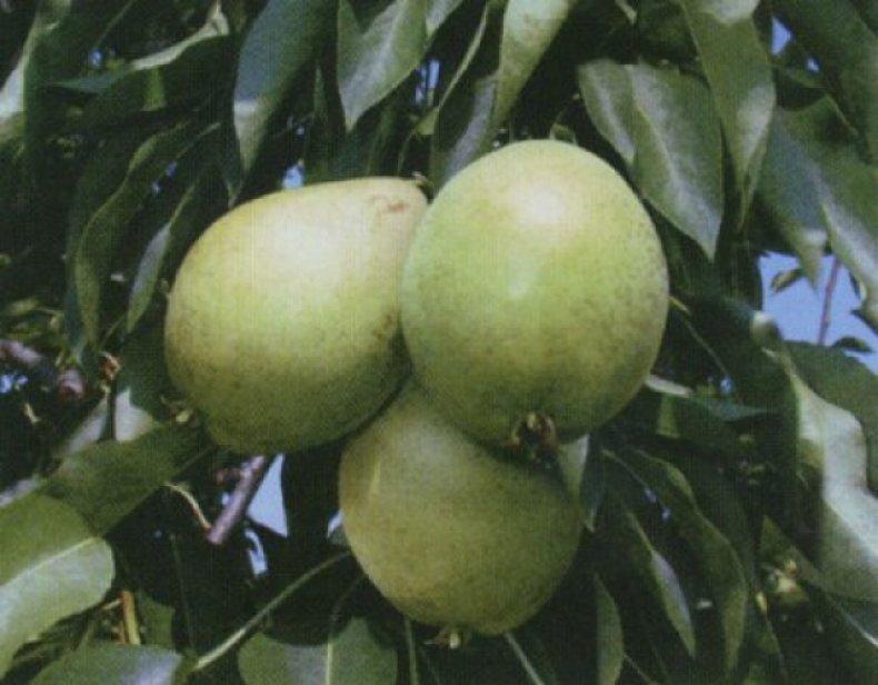 Плоды сорта «Скороспелка» среднего или ниже среднего размера