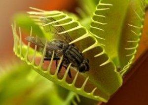Растения мухоловки