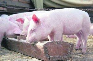 разведение, свинья, описание, данного типа