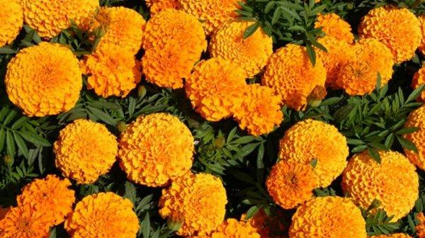 Описание цветок золотой шар или