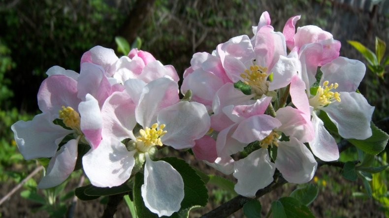 Подробное описание сорта яблок Семеренко
