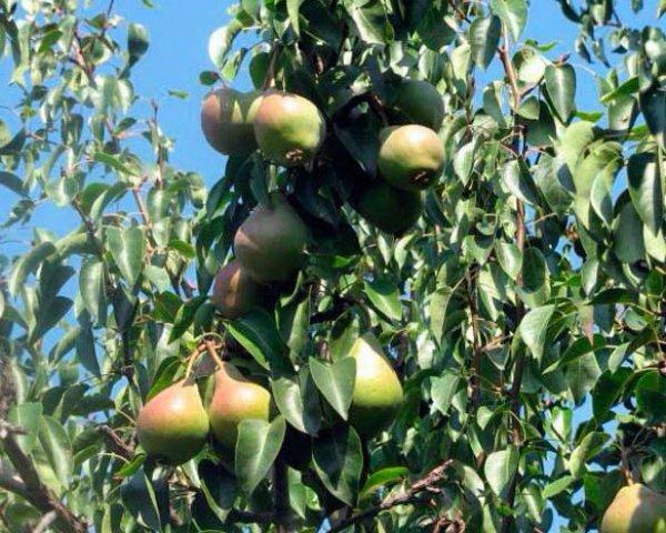 Выращивание груши в крыму 7350