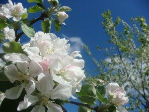 Яблоня мечта описание фото отзывы