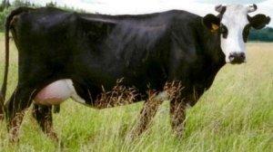 Не надо брать старую корову, ведь ее продуктивность будет меньше