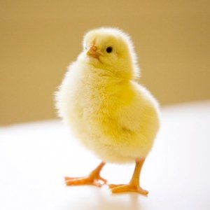 Для инкубации выбирают лишь хорошие яйца