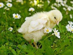 Маленькие цыплята нуждаются в осень тщательном уходе