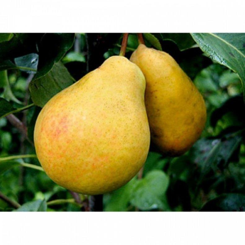 Плоды сорта «Черемшина» большие и вкусные