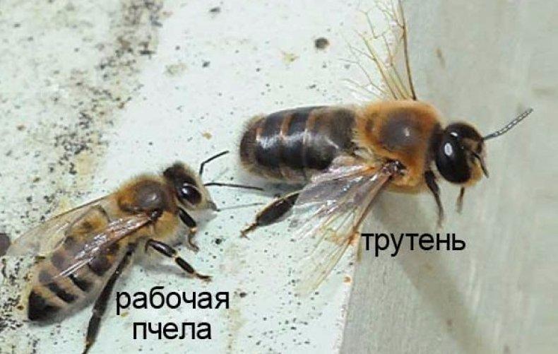 Рабочая пчела и трутень