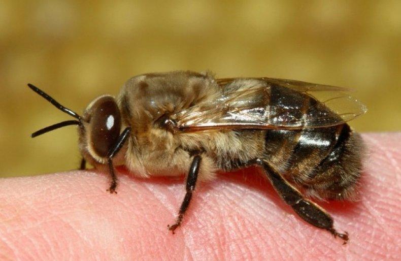 чем отличается трутень от пчелы