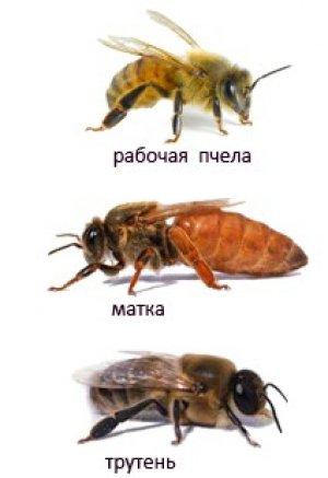 Матка, трутень, рабочая пчела