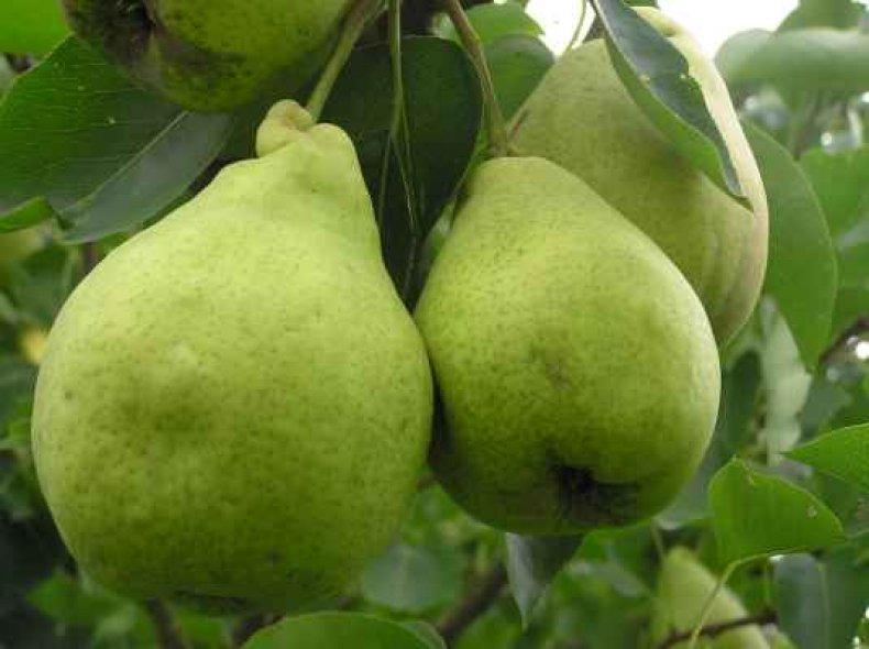 Вес плодов сорта «Адмирал Жерве» может достигать 300 г
