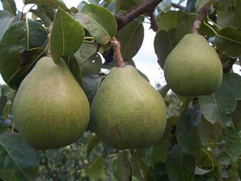 Плоды сорта «Память Жегалова» кисло-сладкие на вкус