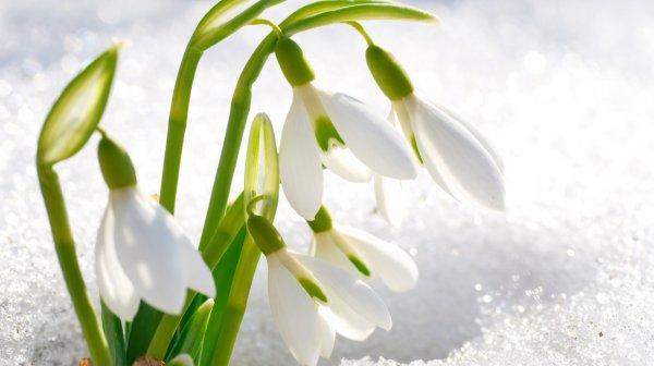 Когда растут подснежники (галантусы), как вырастить цветы в саду