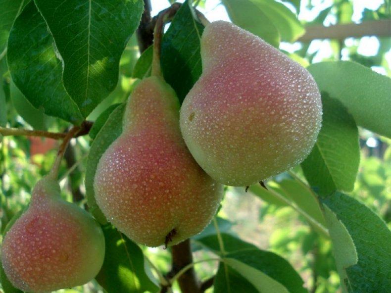 Плоды сорта «Дюшес» очень большие и вкусные