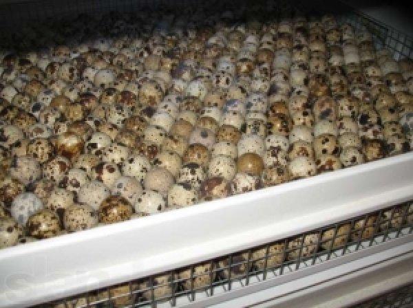 Инкубация перепелиных яиц в домашних условиях: режим инкубации в таблицах