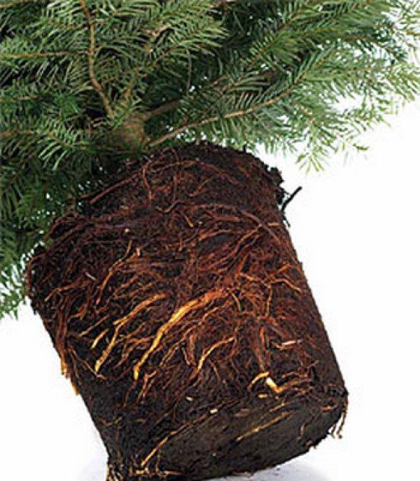 Выращивание пихты в домашних условиях