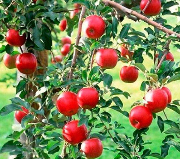 яблоня фонарик описание фото