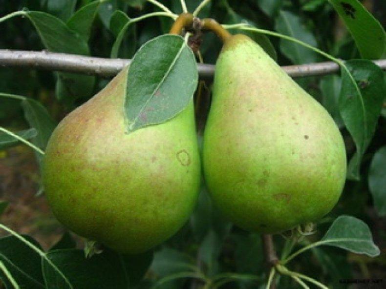 «Ноябрьская» один из самых вкусных сортов груш