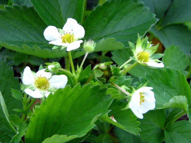 может ли клубника удобренная азотом фосфором и калием нанести вред здоровью