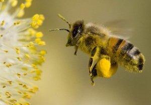 Польза пчелиной пыльцы