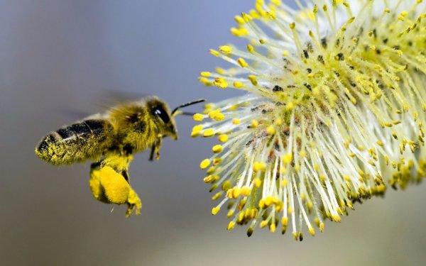 Продукты пчеловодства пыльца и ее применение