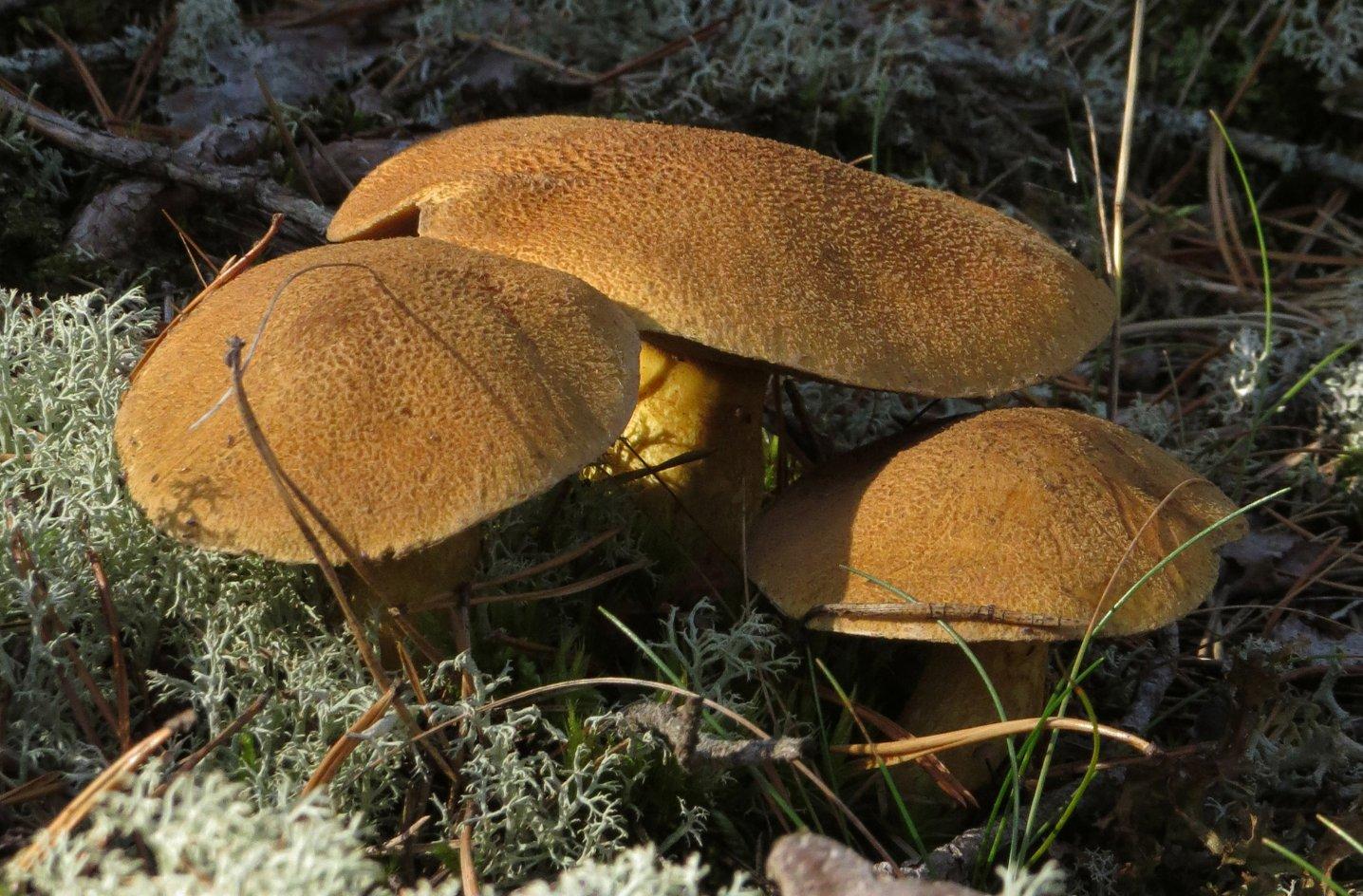 можно ли есть маховики грибы