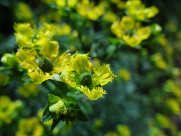 Рута душистая несколько интересных фактов о растении