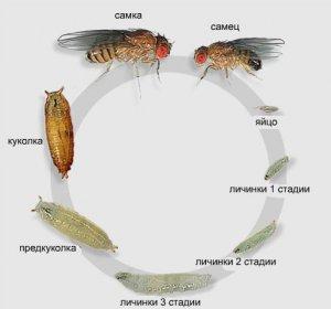 борьба, луковый, муха, луковой мухи, луковой мухой, борьбы вредителем