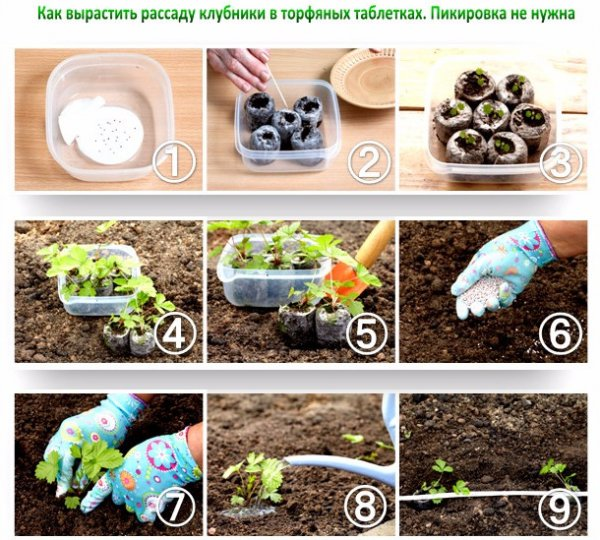 Выращивание земляники садовой Ягодные культуры 19