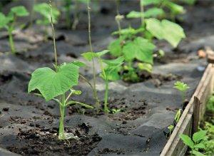 Выращивание огурцов под черной пленкой
