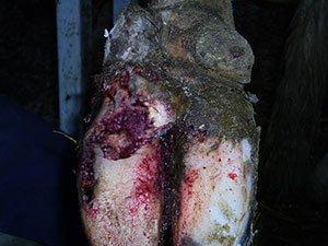 Животное очень болезненно переносит заболевания